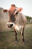 Moo cow.