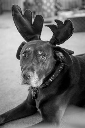 Lost reindeer